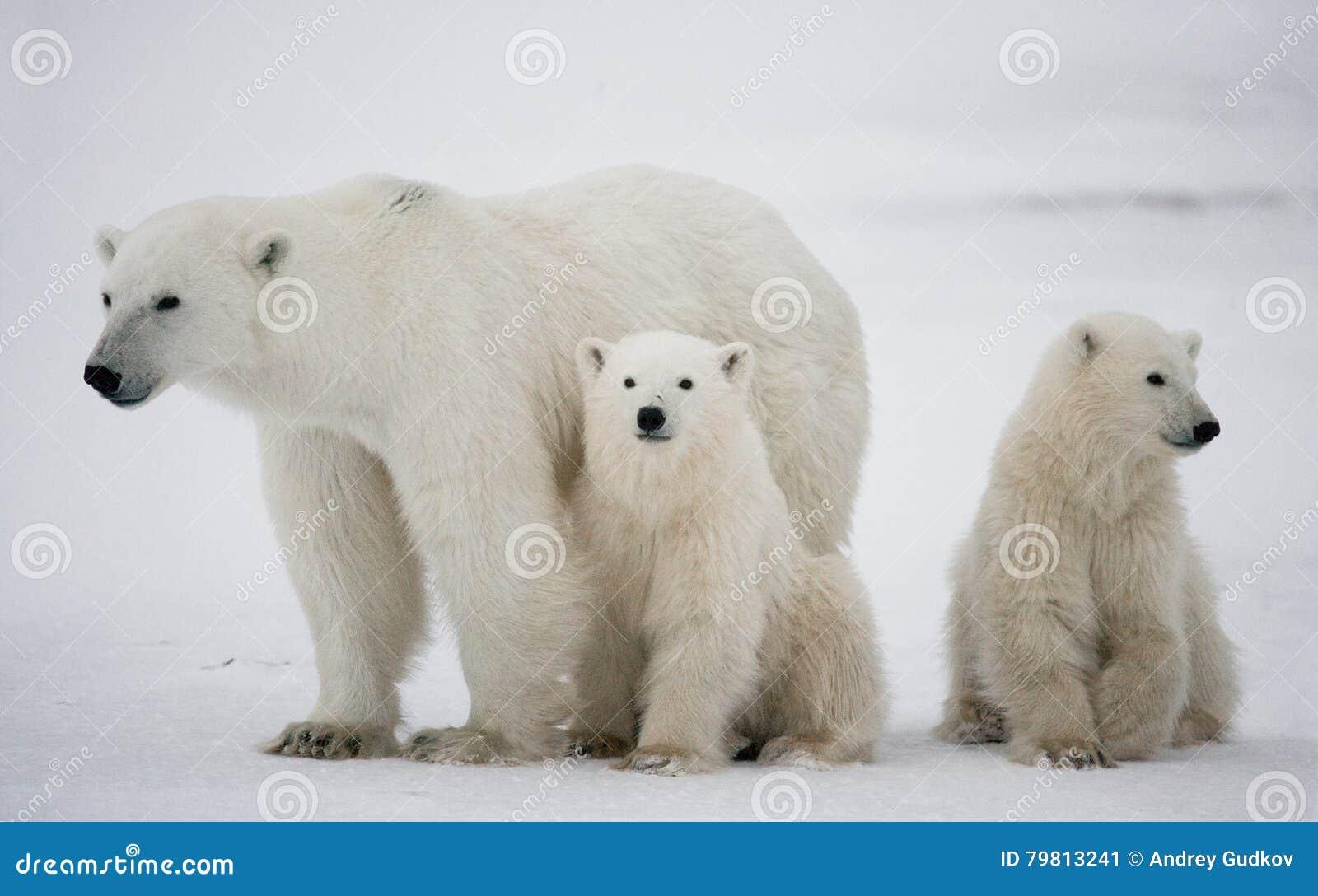 Orso polare con cuccioli nella tundra canada