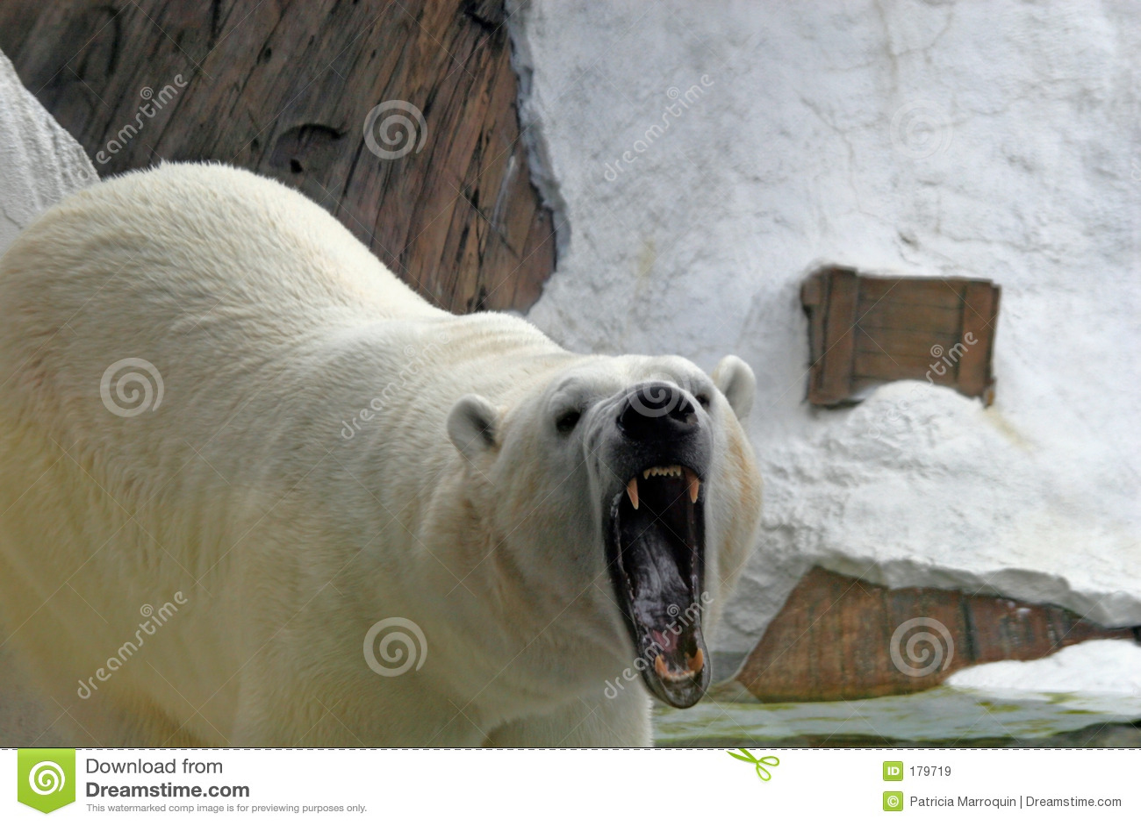 Orso polare di ringhio