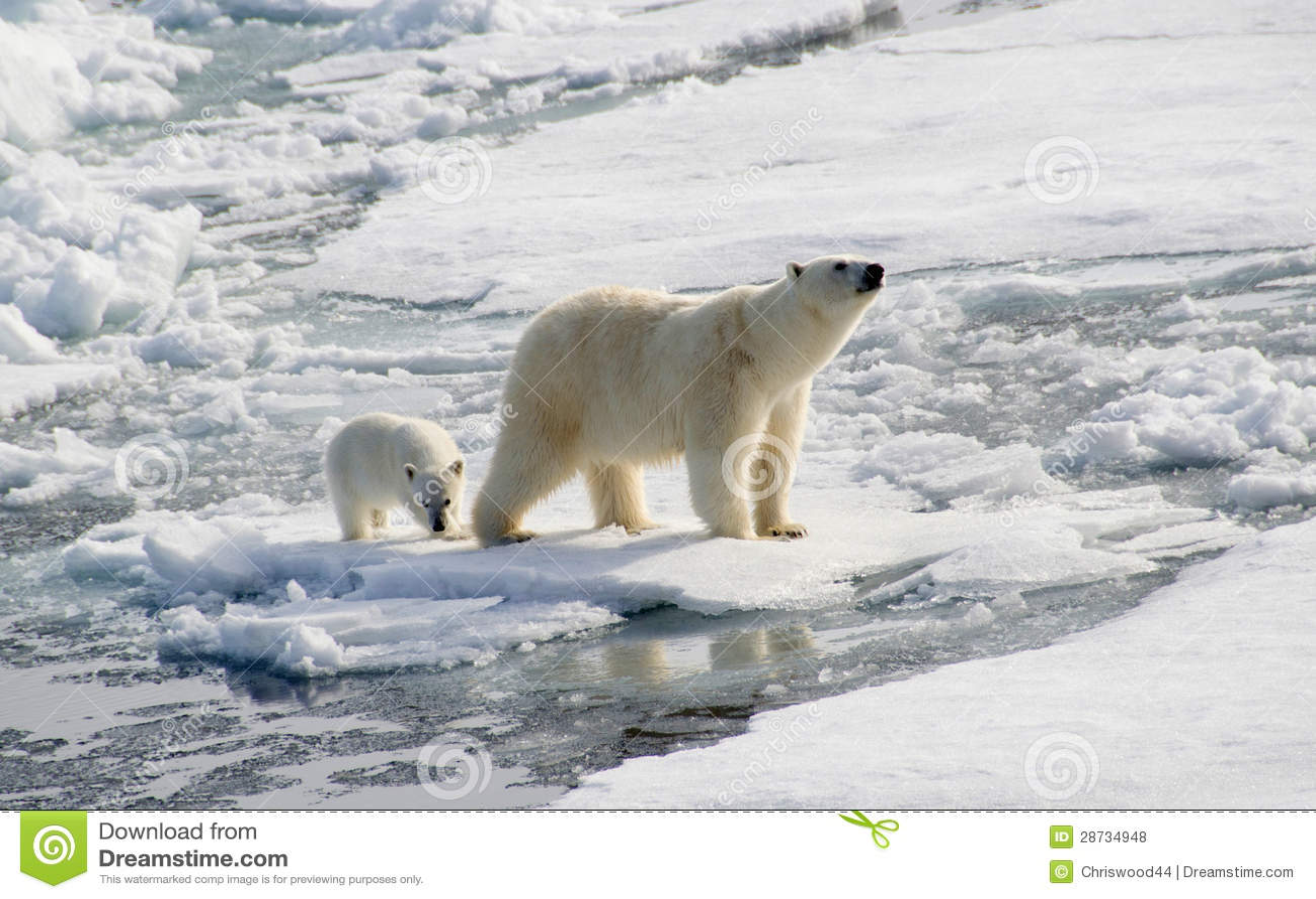 Orso polare e cucciolo
