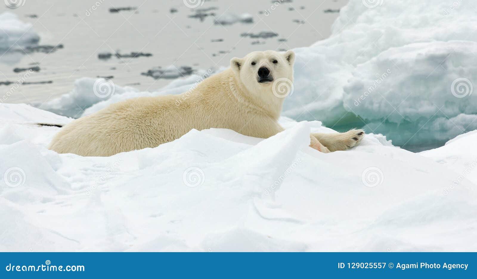 Orso polare, IJsbeer, ursus maritimus