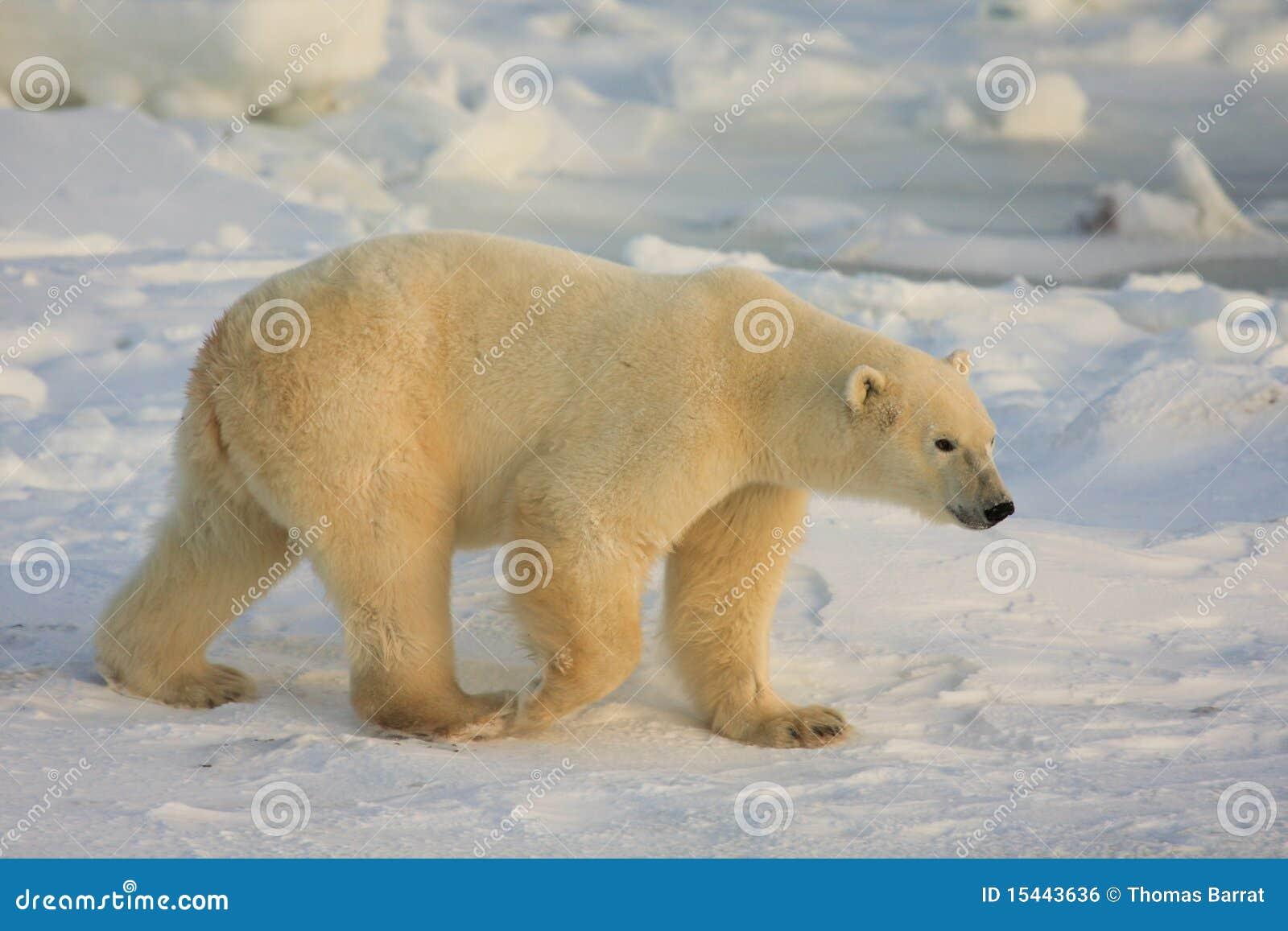 Orso polare nell Artide