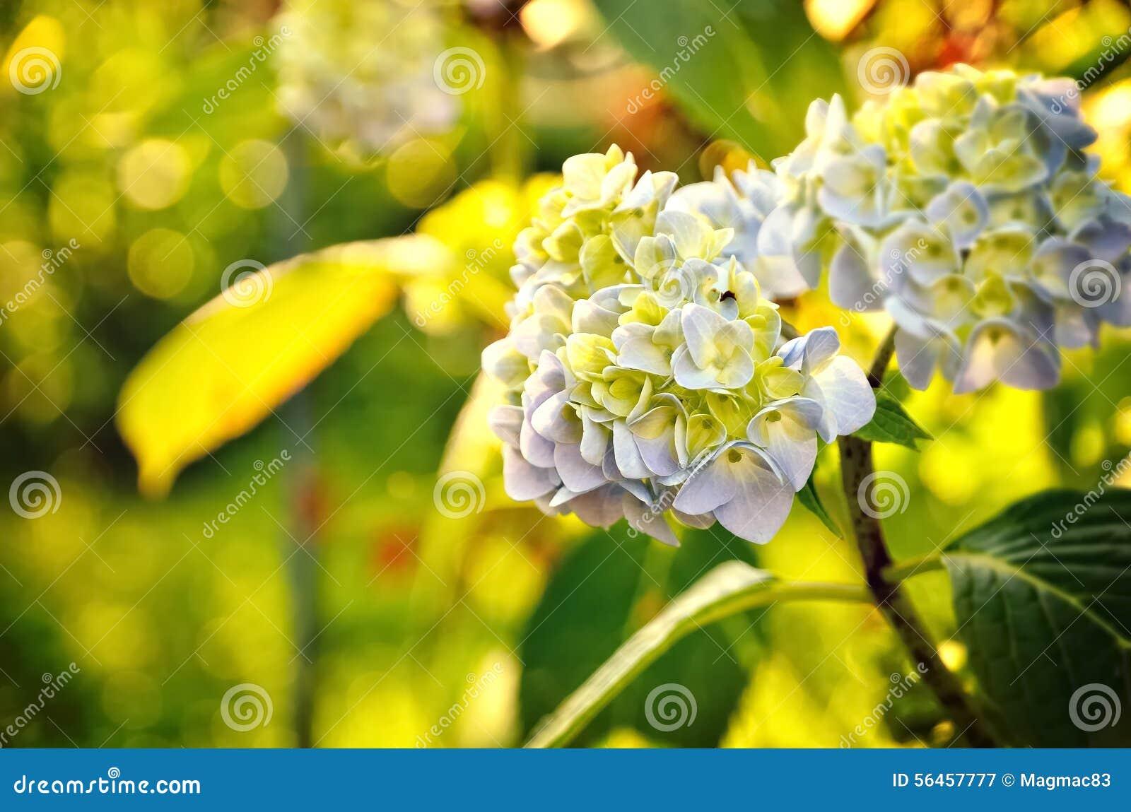 Ortensia blu e gialla immagine stock immagine di fogliame - Ortensia blu ...