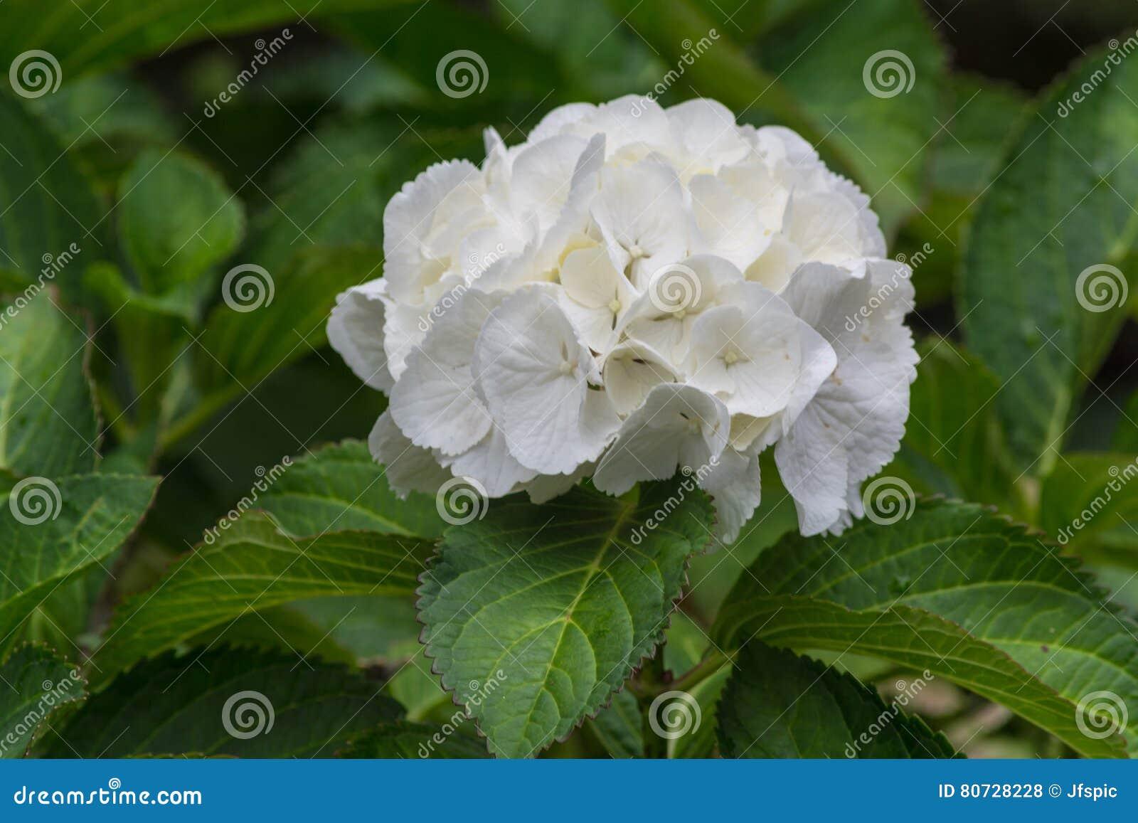 Ortensie Con Foglie Arricciate : Ortensie bianche con le foglie verdi fotografia stock