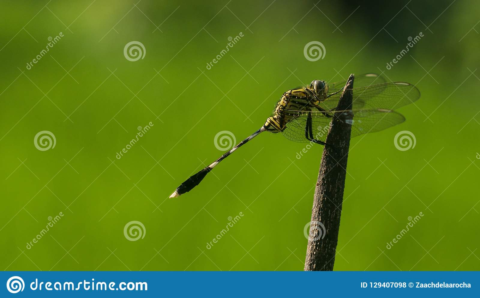 An orthetum dragonfly sabina on a pointy branch