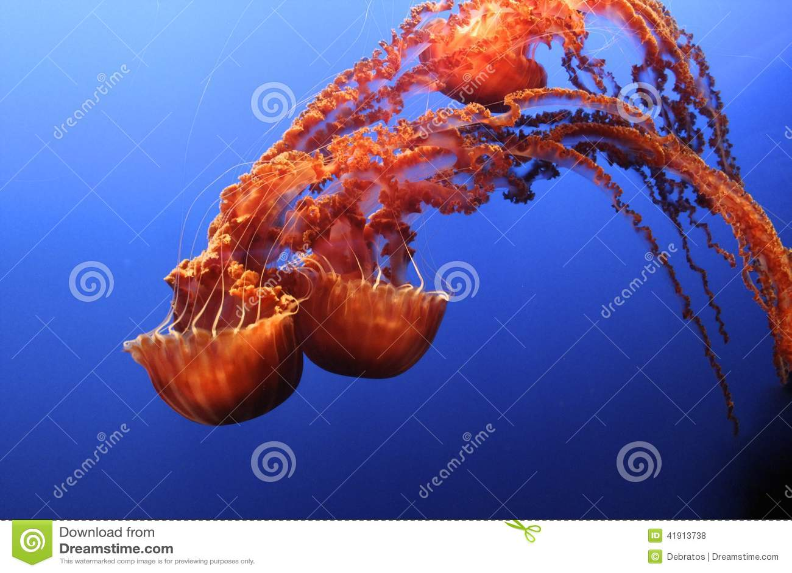 Ortiga del Mar Negro de las medusas