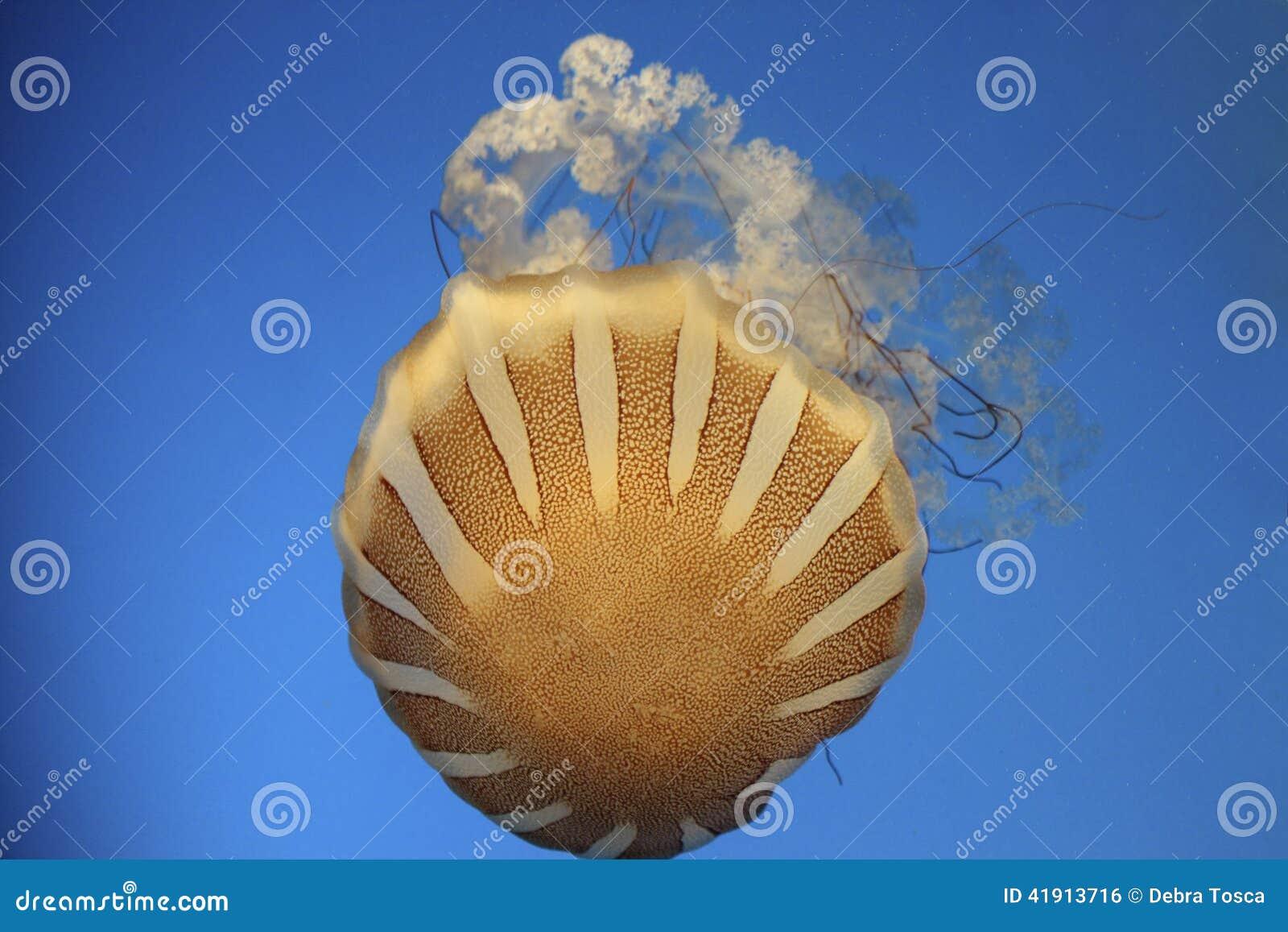 Ortiga Jelly Fish del mar