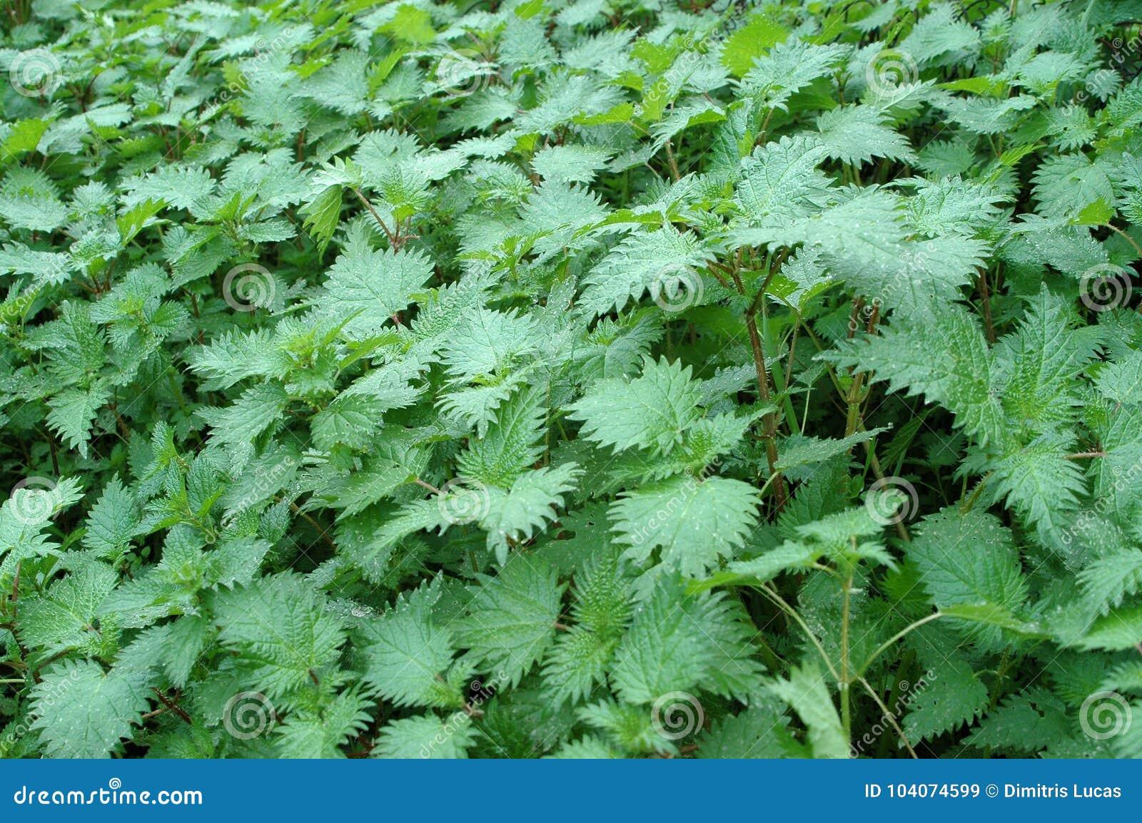 Ortigas tacañas hermosas naturales verdes