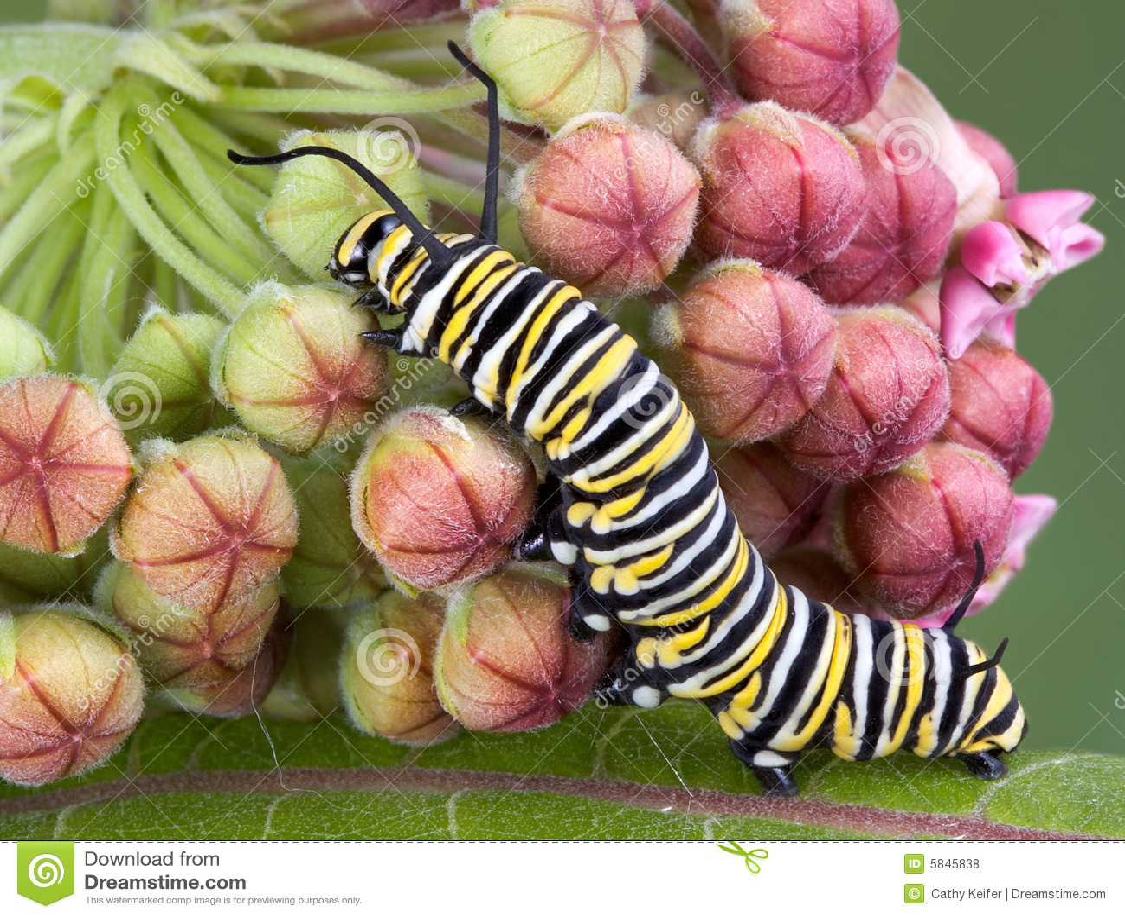 Oruga del monarca en el milkweed b