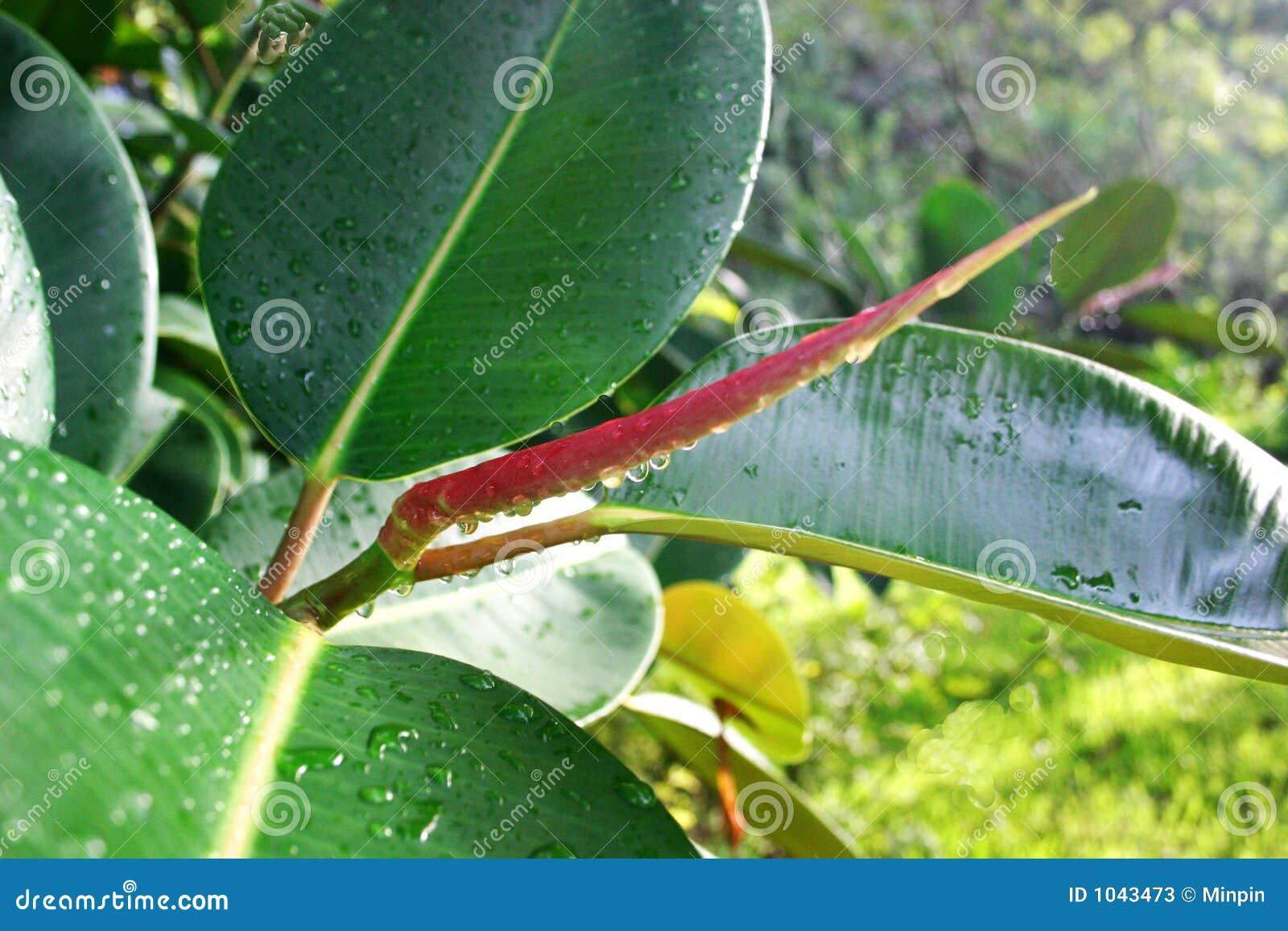 Orvalho na planta da árvore da borracha