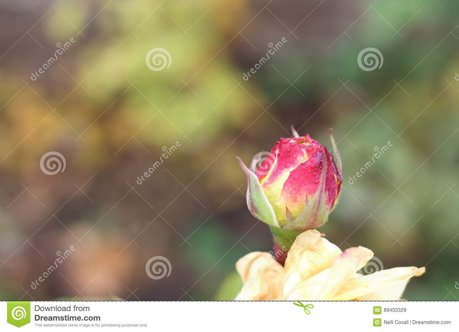 Orvalho no botão cor-de-rosa