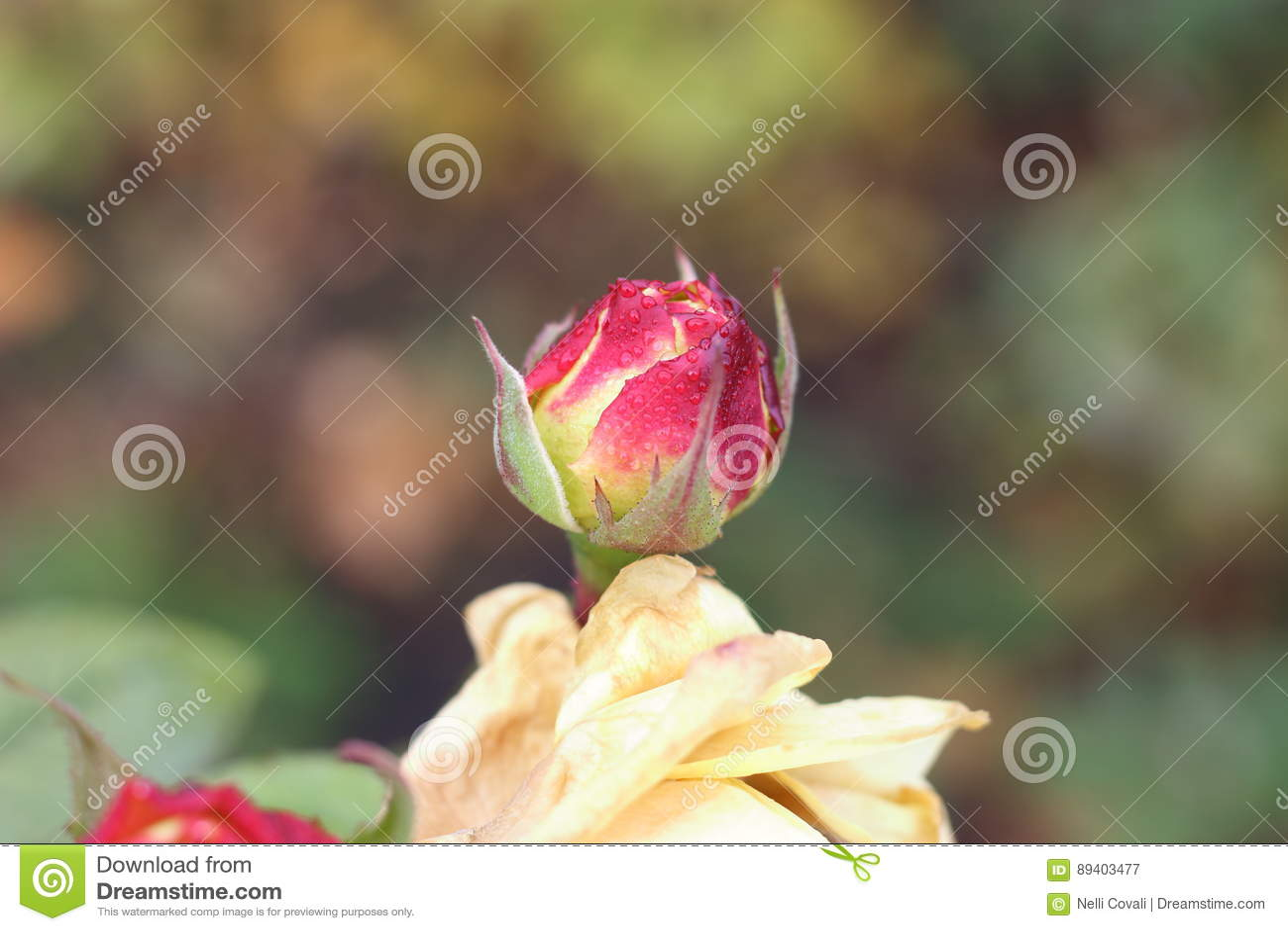 Orvalho no botão da rosa do rosa