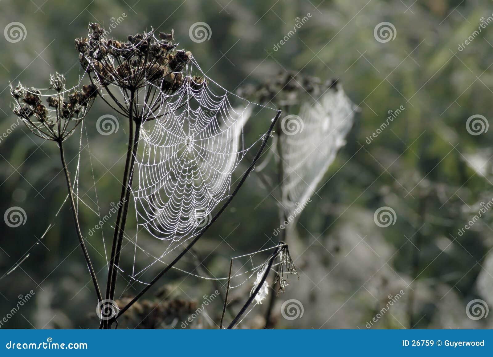 Orvalho no Web de aranha