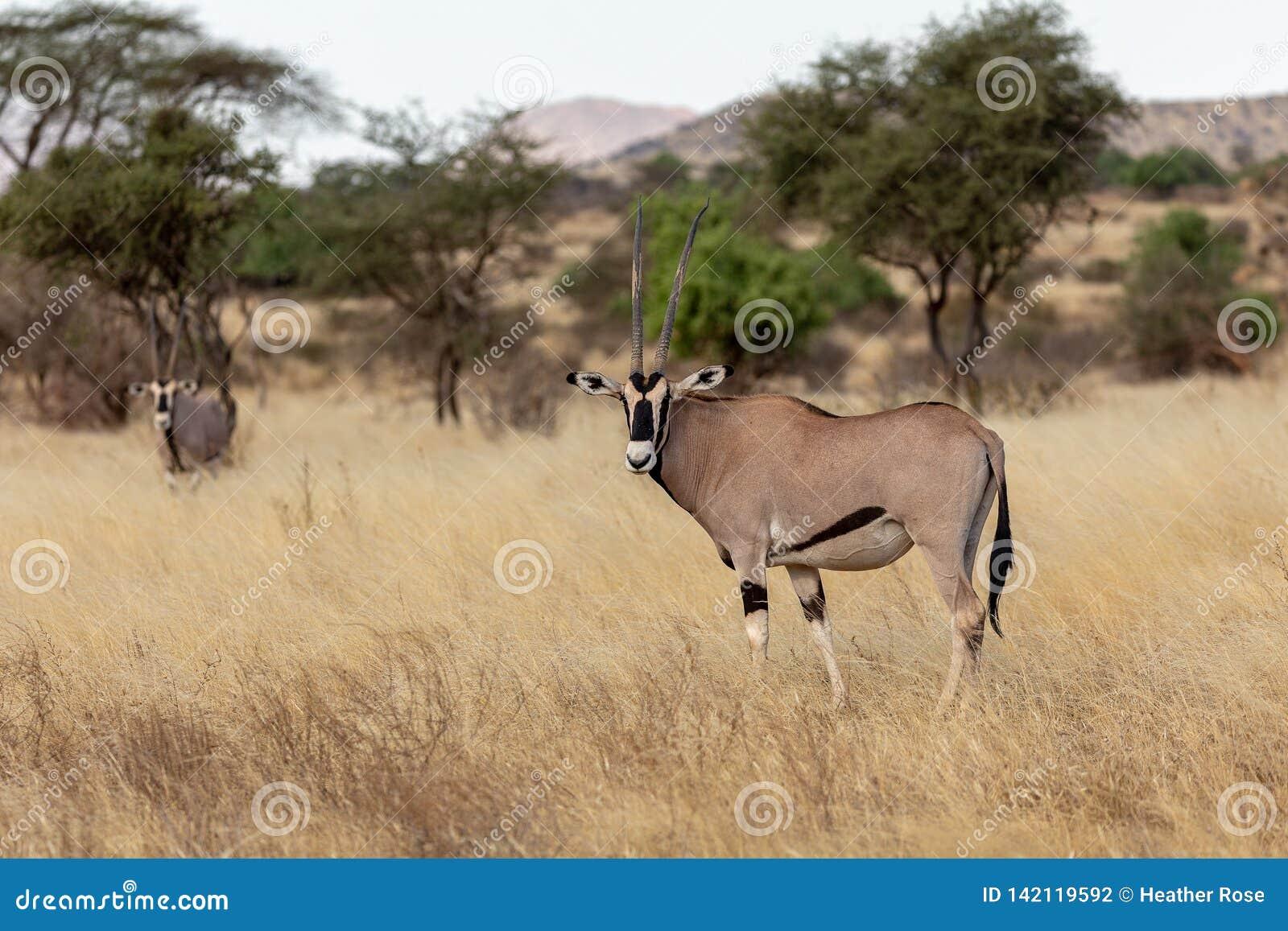 Oryx, Κένυα, Αφρική