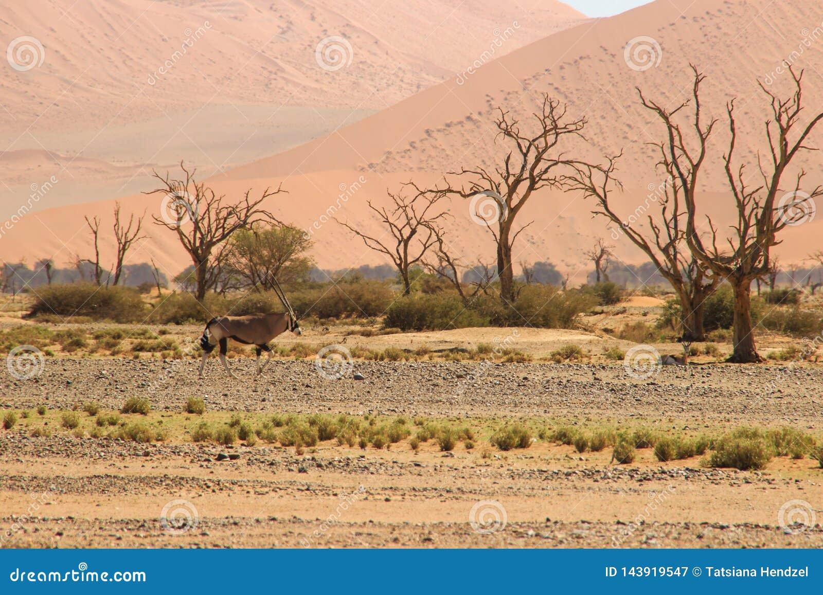 Oryx ή αντιλόπη με τα μακριά κέρατα στην έρημο Namib, Ναμίμπια