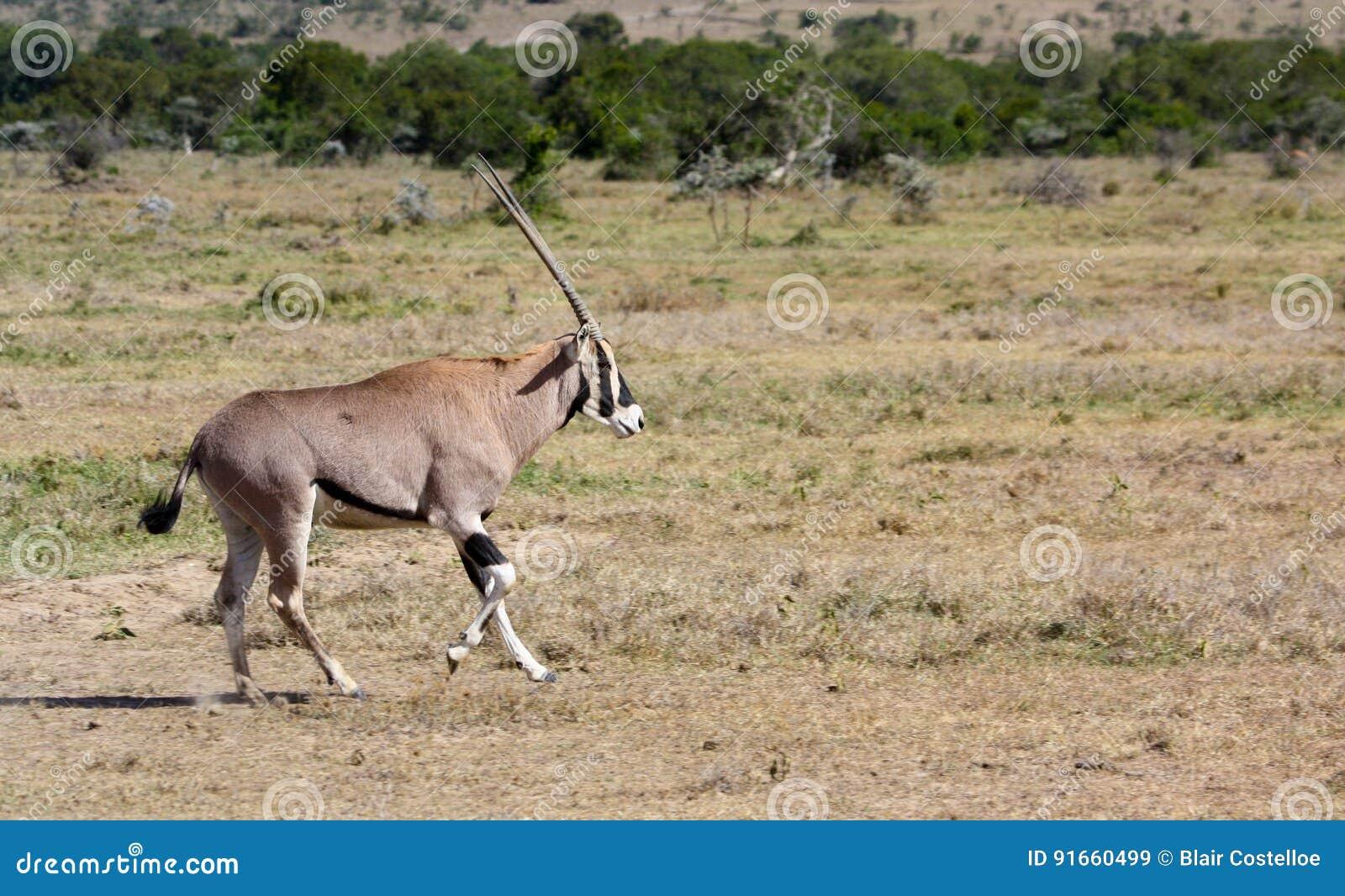 Oryx πέρα από μια πεδιάδα