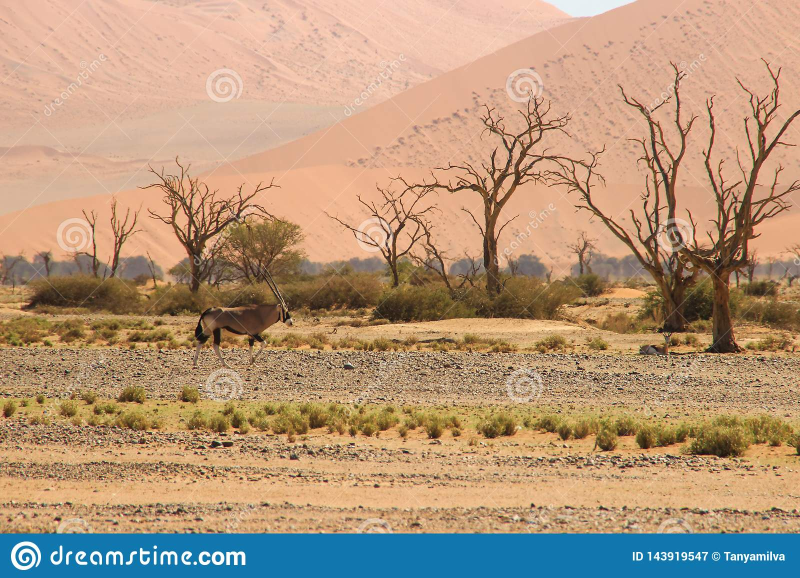 Oryx or antelope with long horns in the Namib Desert, Namibia