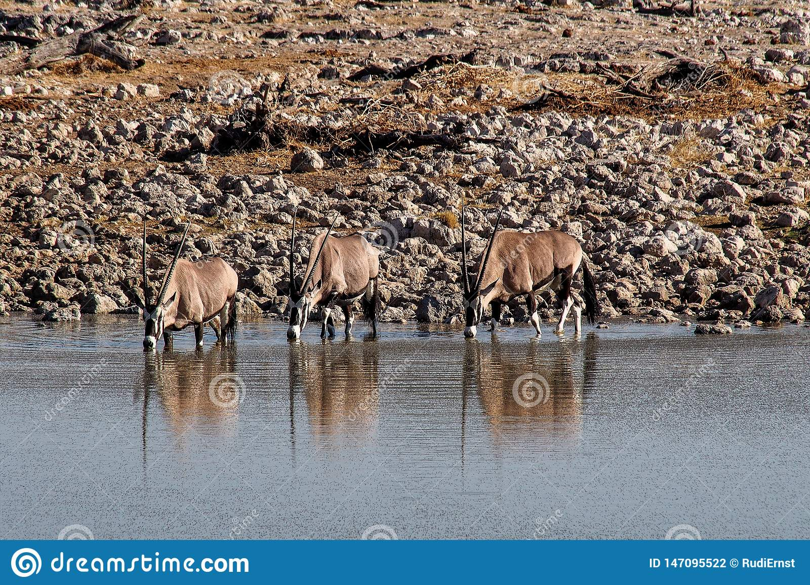 Oryx antelopes drinking at a waterhole in Etosha Park in Namibia
