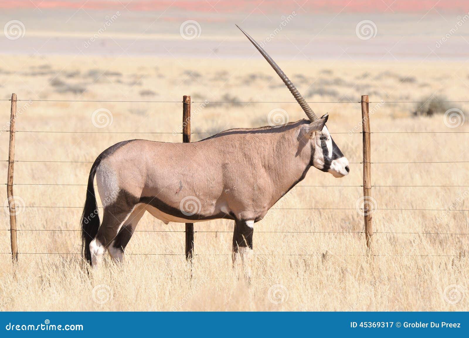 Oryx dans le paysage d herbe