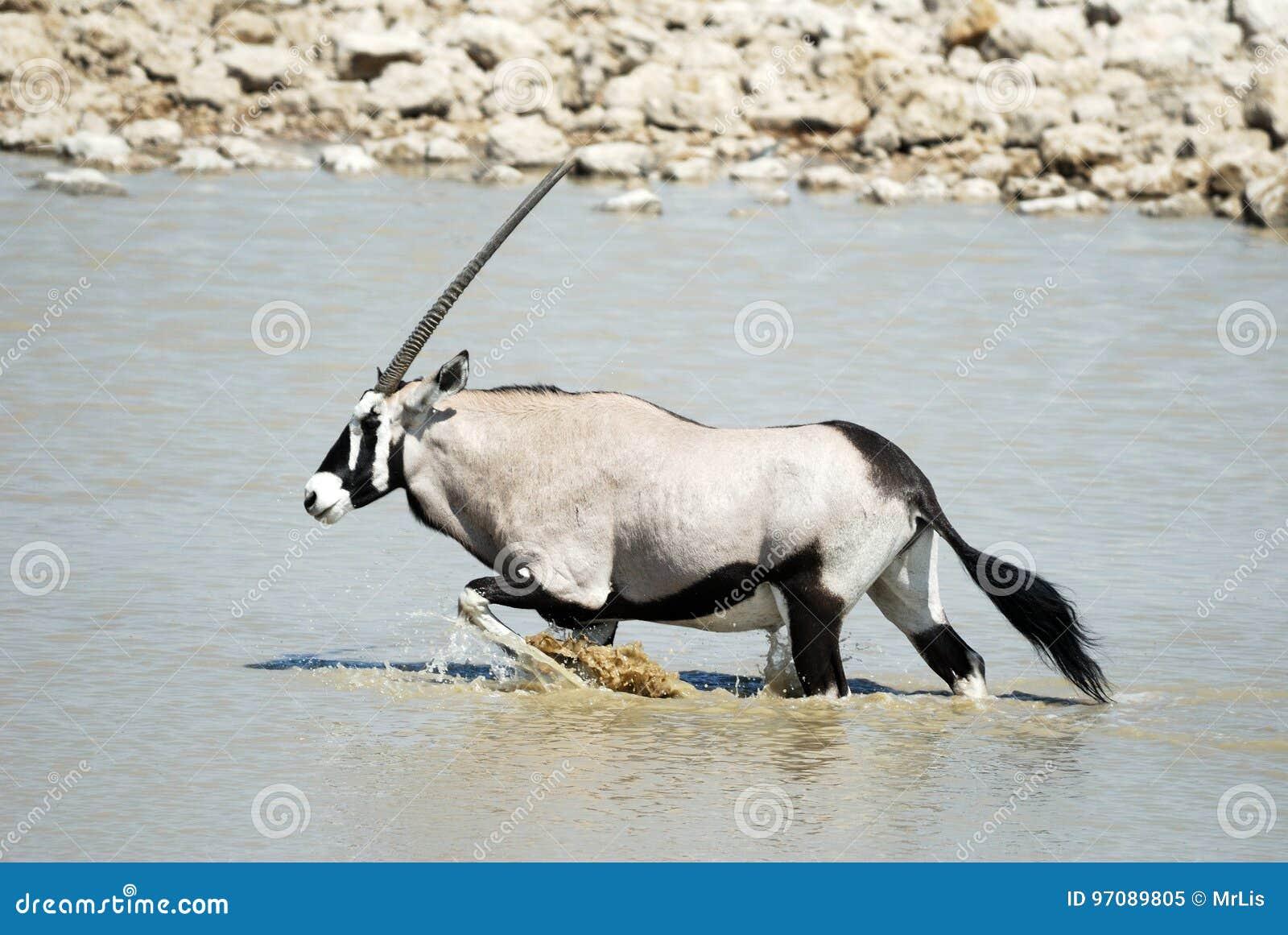 Oryx in the Etosha National Park, Namibia