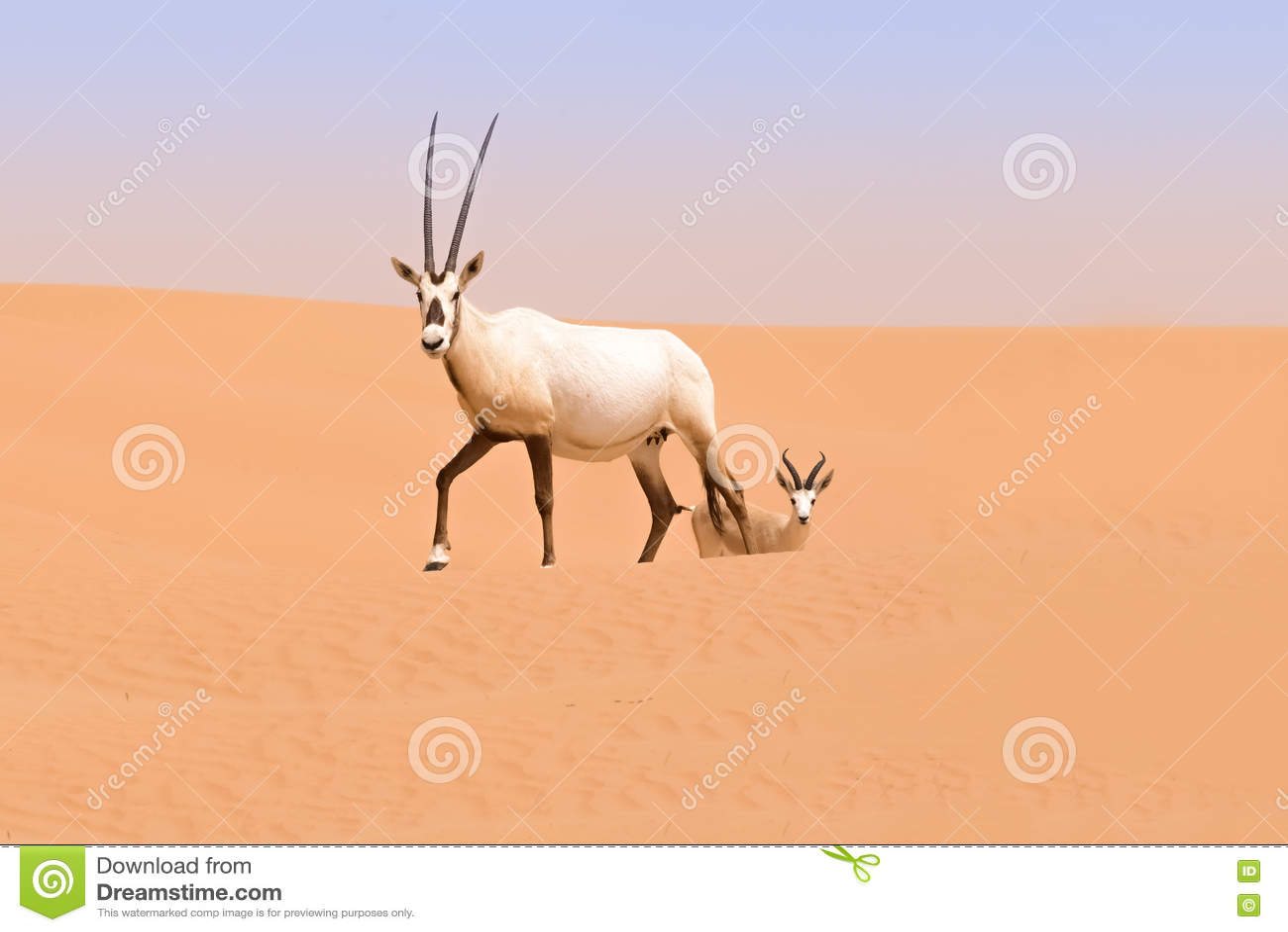 Oryx family in the dunes of the Dubai Desert Conservation Reserve, UAE