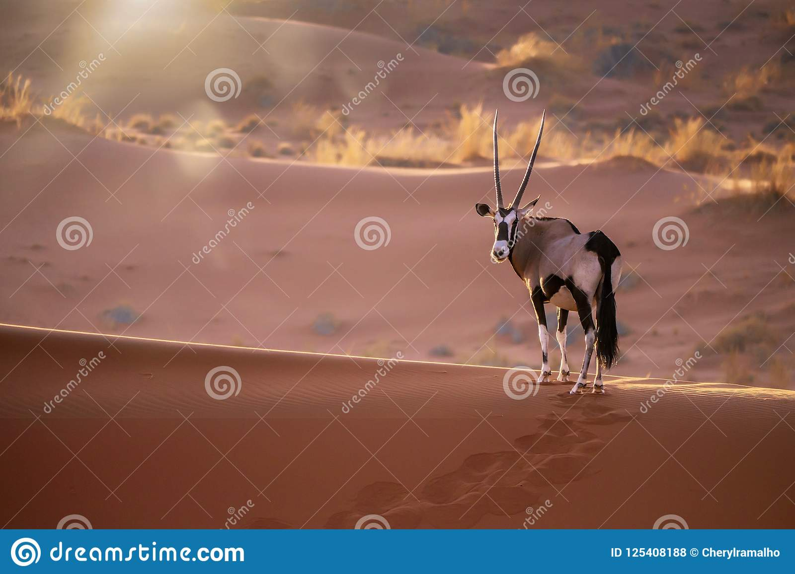 Oryx in Namibië