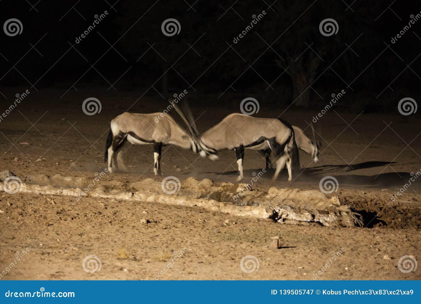Oryx Night Fight