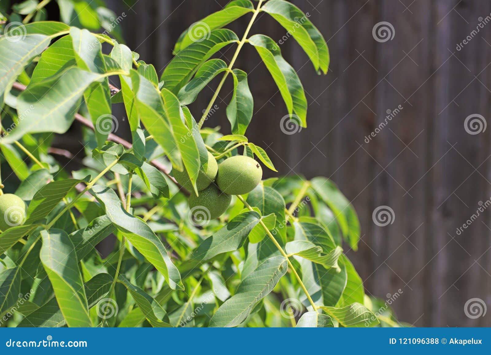 Orzechy włoscy dojrzewa na drzewie wśród ulistnienia, ale wciąż zielenieją Źródło jarzynowa proteina i zdrowi sadło Funda dla dzi