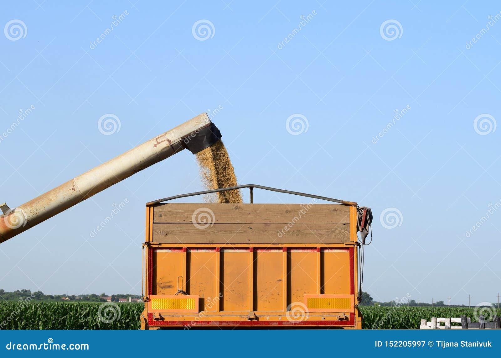 Orzo di versamento dallo scaricatore nel camion, vojvodina, Serbia