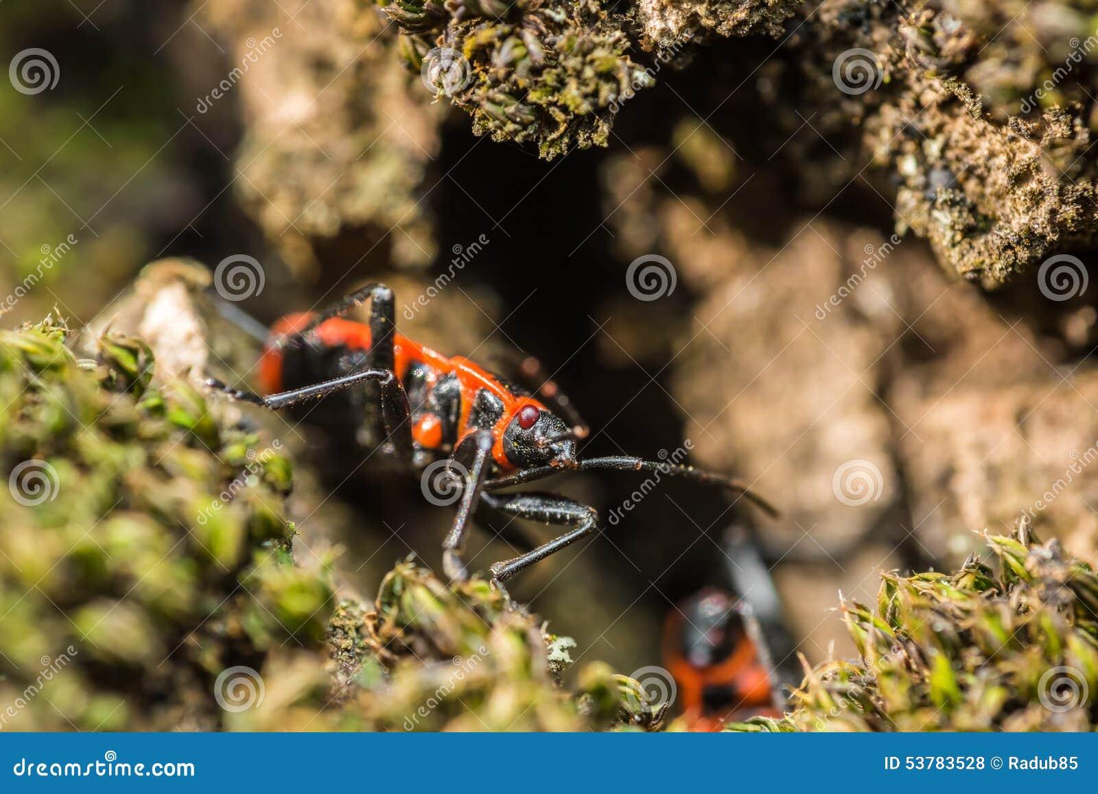 Osłony pluskwa (Graphosoma Lineatum)