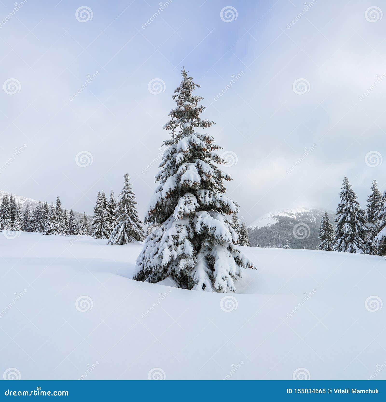 Os abeto macios nos montes de neve cobertos com a neve no gramado Paisagem bonita na manhã nevoenta do inverno frio