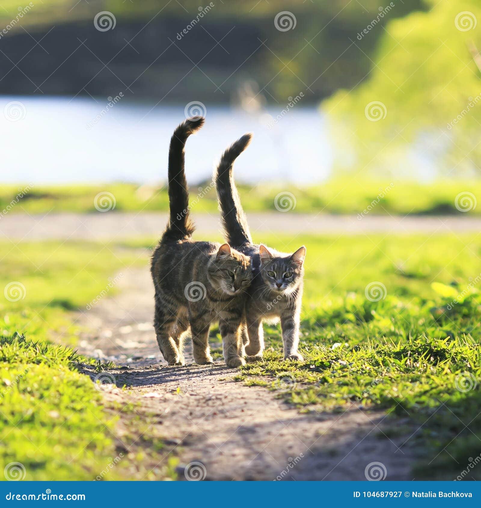 Os amantes acoplam caminhada de gatos listrada junto no prado verde em Sunn