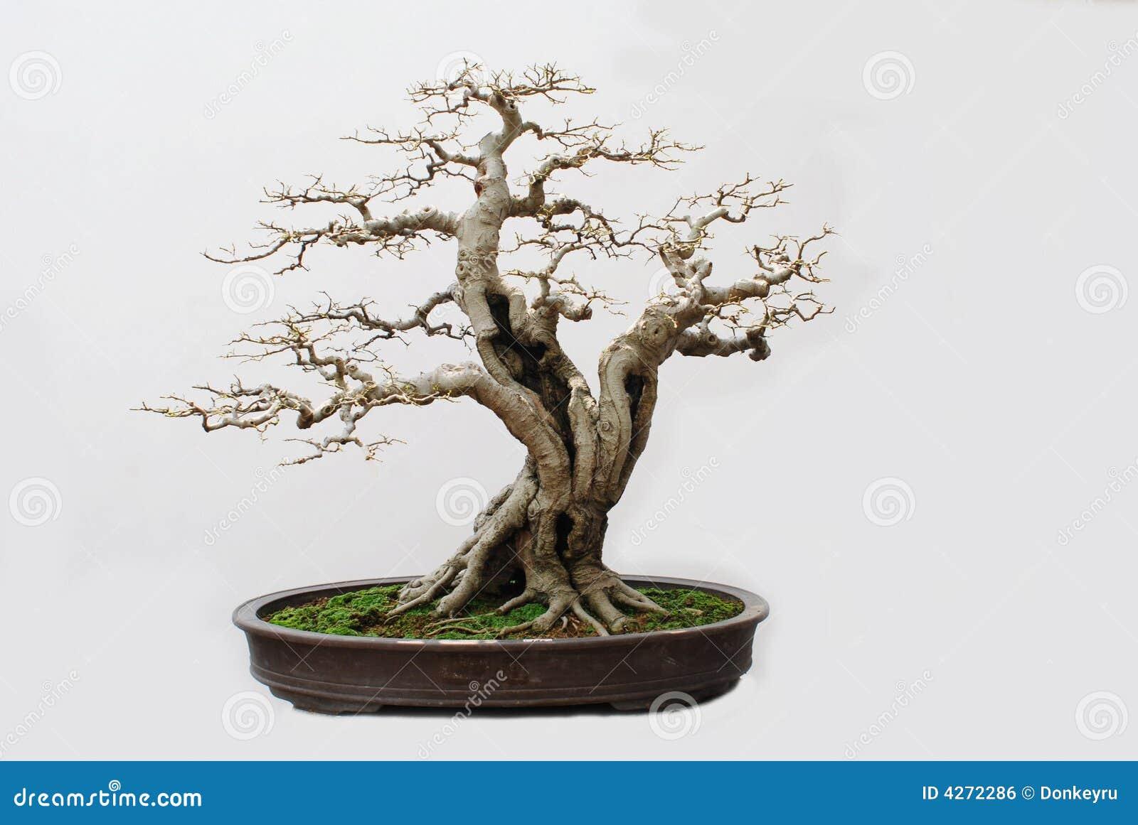 Os bonsais da agreira