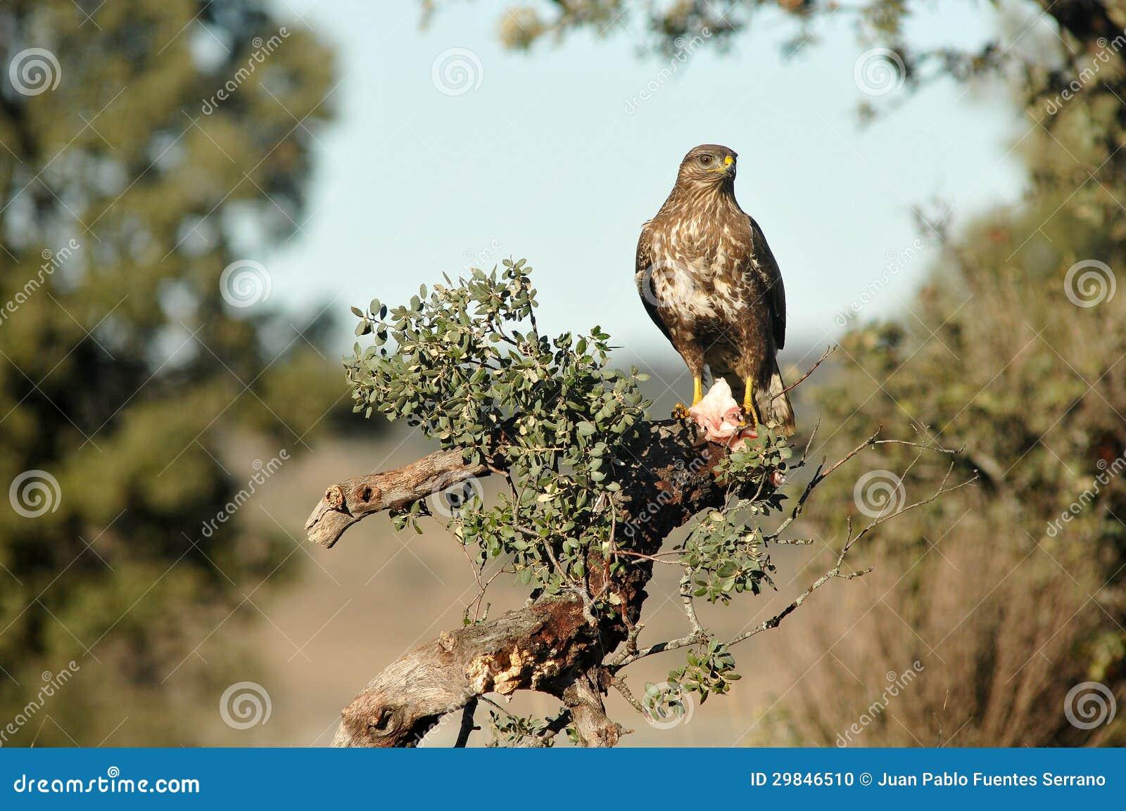 Buzzards empoleirados entre os ramos