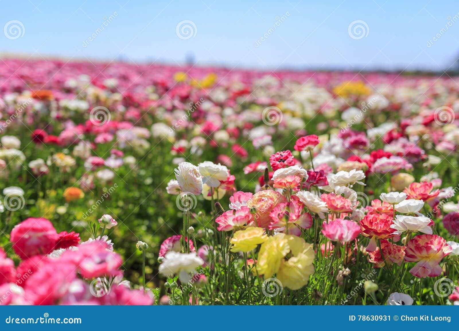 Os campos de flor