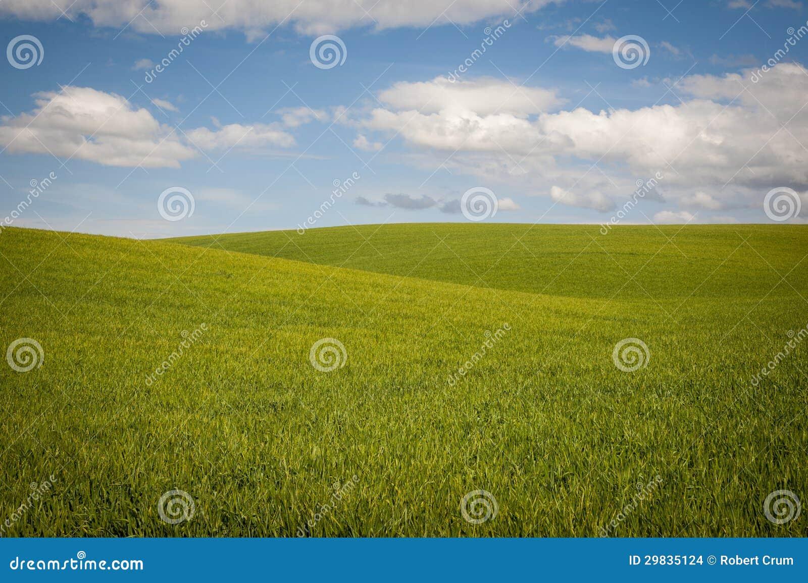 Os campos de trigo sob um verão nublam-se