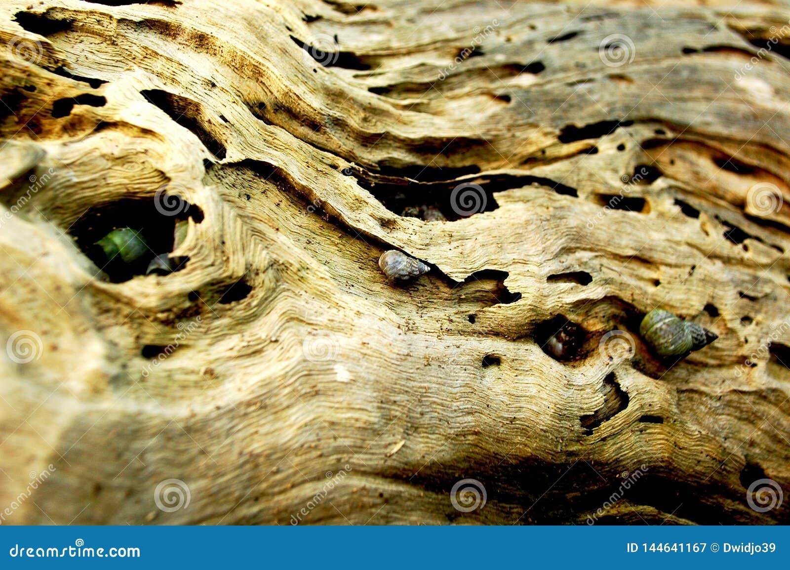 Os caracóis de mar vivem nos furos de um tronco de árvore velho