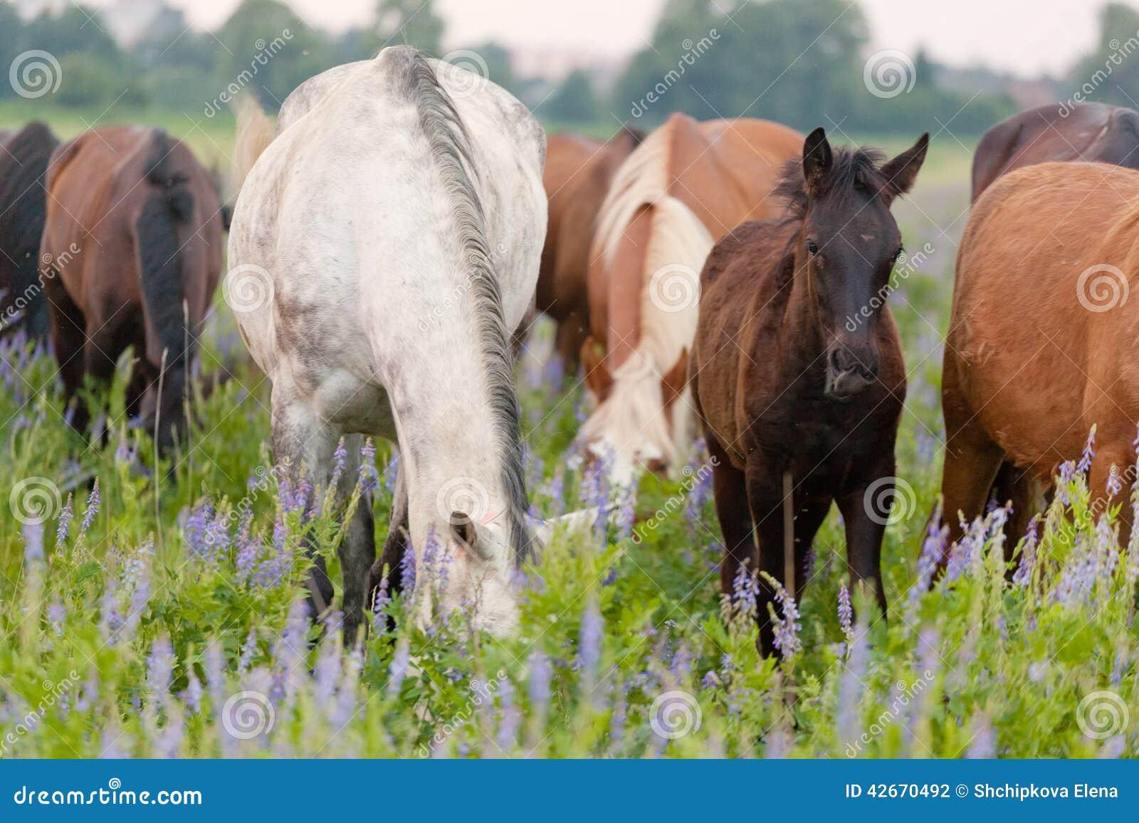Os cavalos comem uma grama