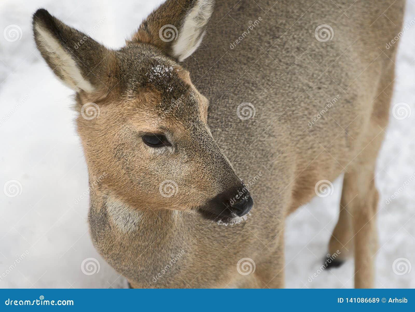 Os cervos de OVAS Siberian giraram sua cabeça