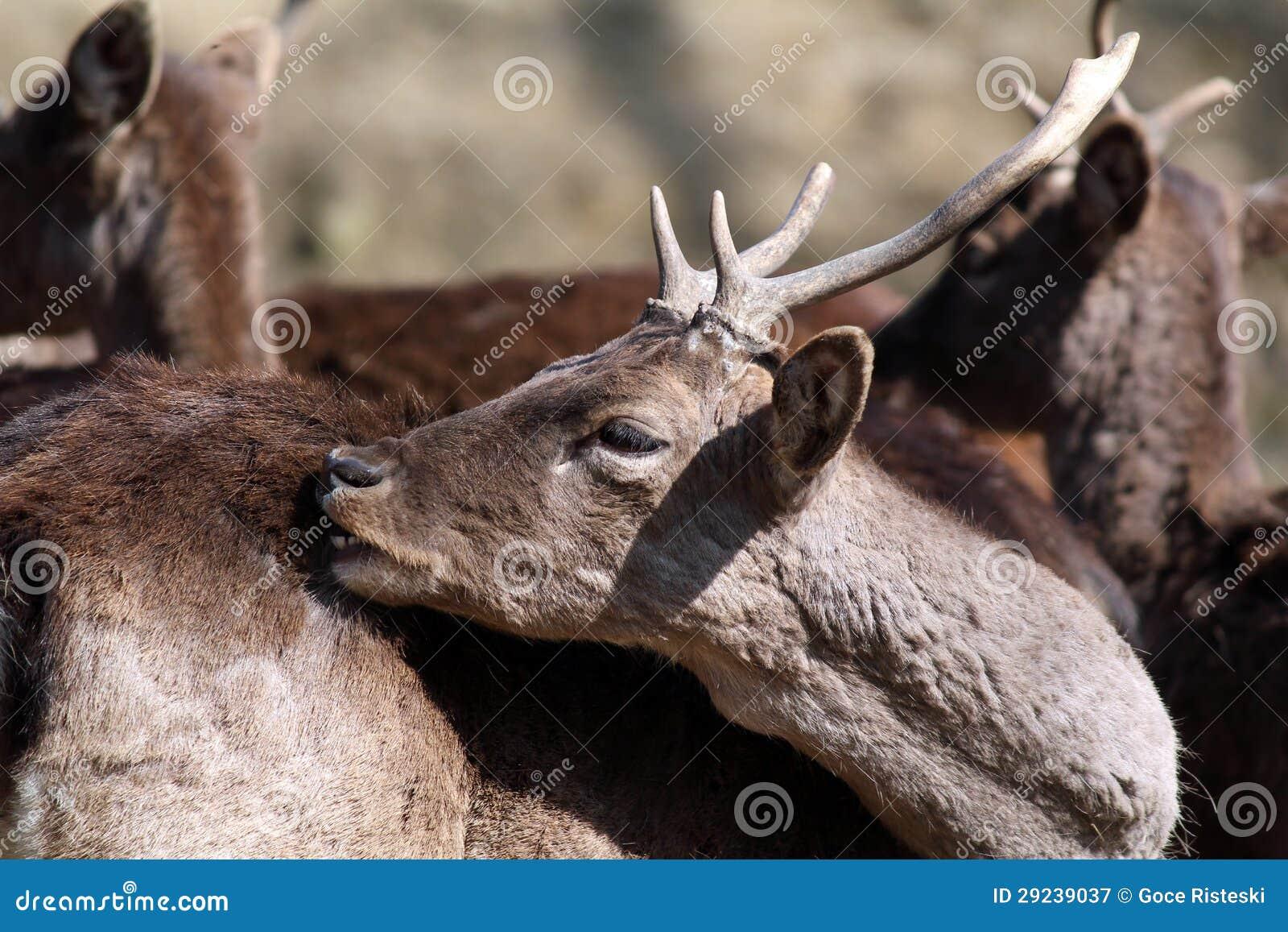 Download Os Cervos Fecham-se Acima Do Retrato Imagem de Stock - Imagem de buck, nave: 29239037