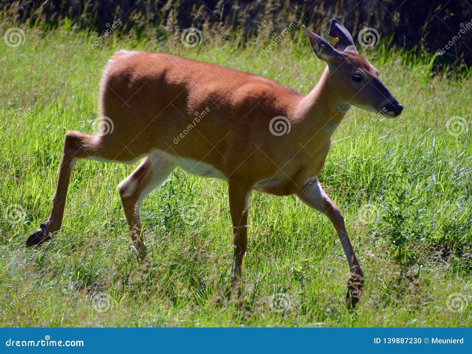 Os cervos são os mamíferos do ruminante que formam o Cervidae da família