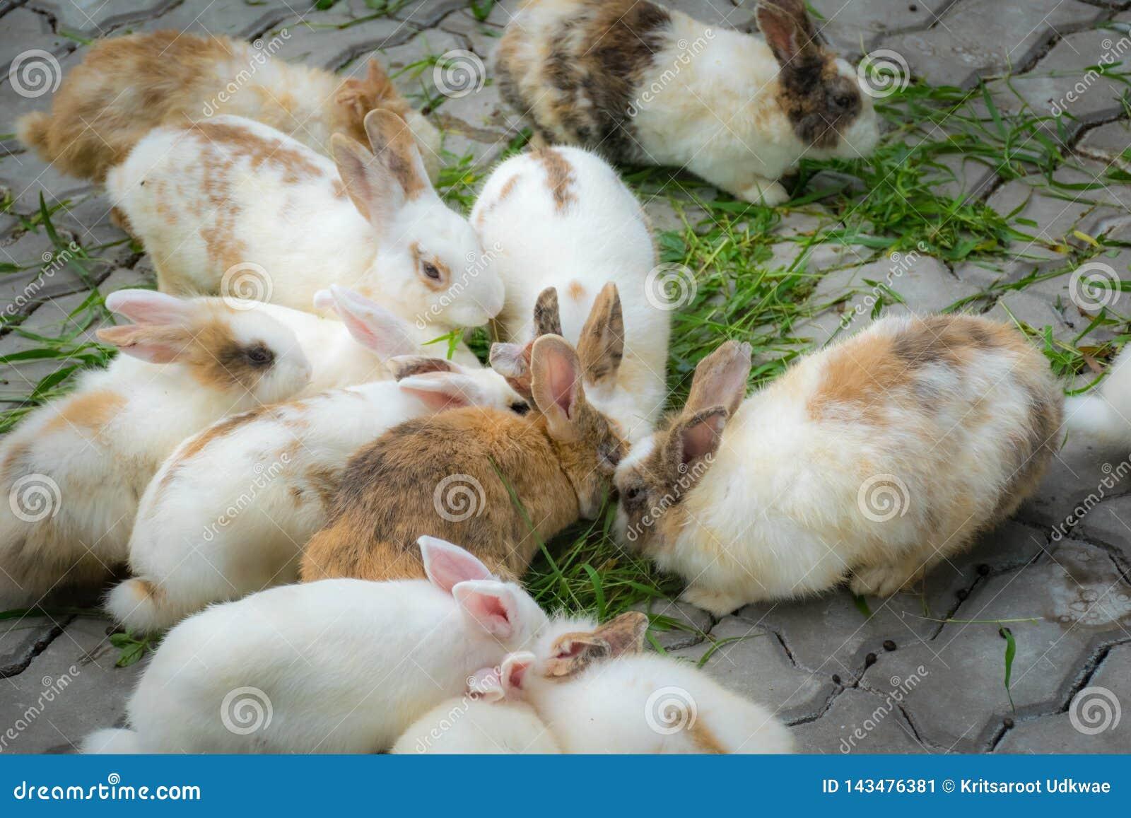 Os coelhos adoráveis estão comendo gramas na terra