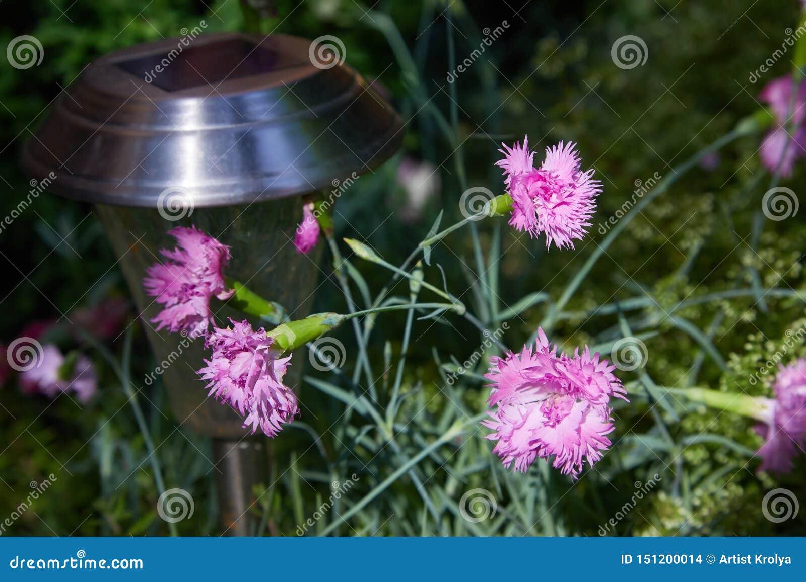 Os cravos cor-de-rosa pequenos adornam nas folhas verdes