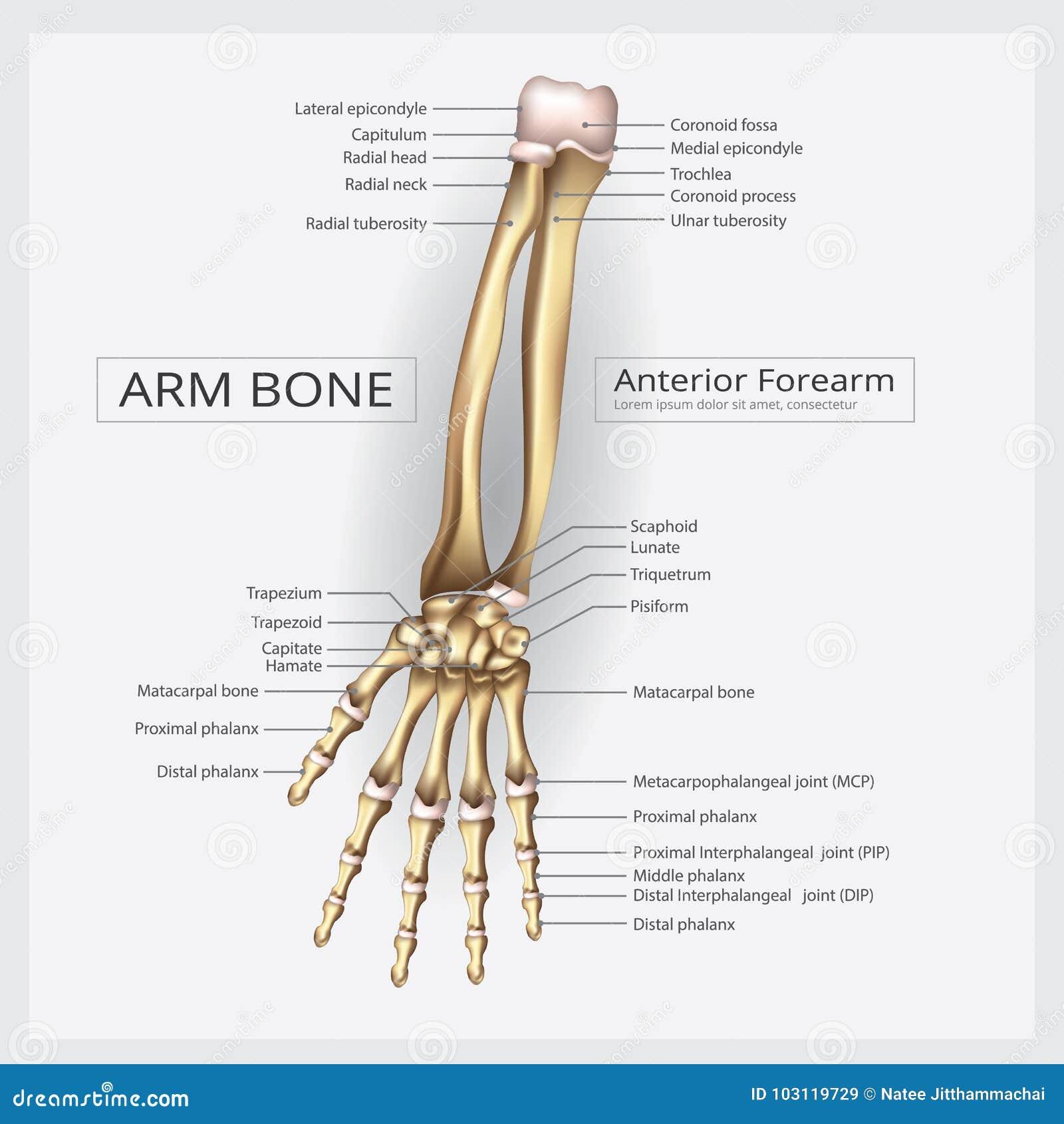 Os de main humain d anatomie