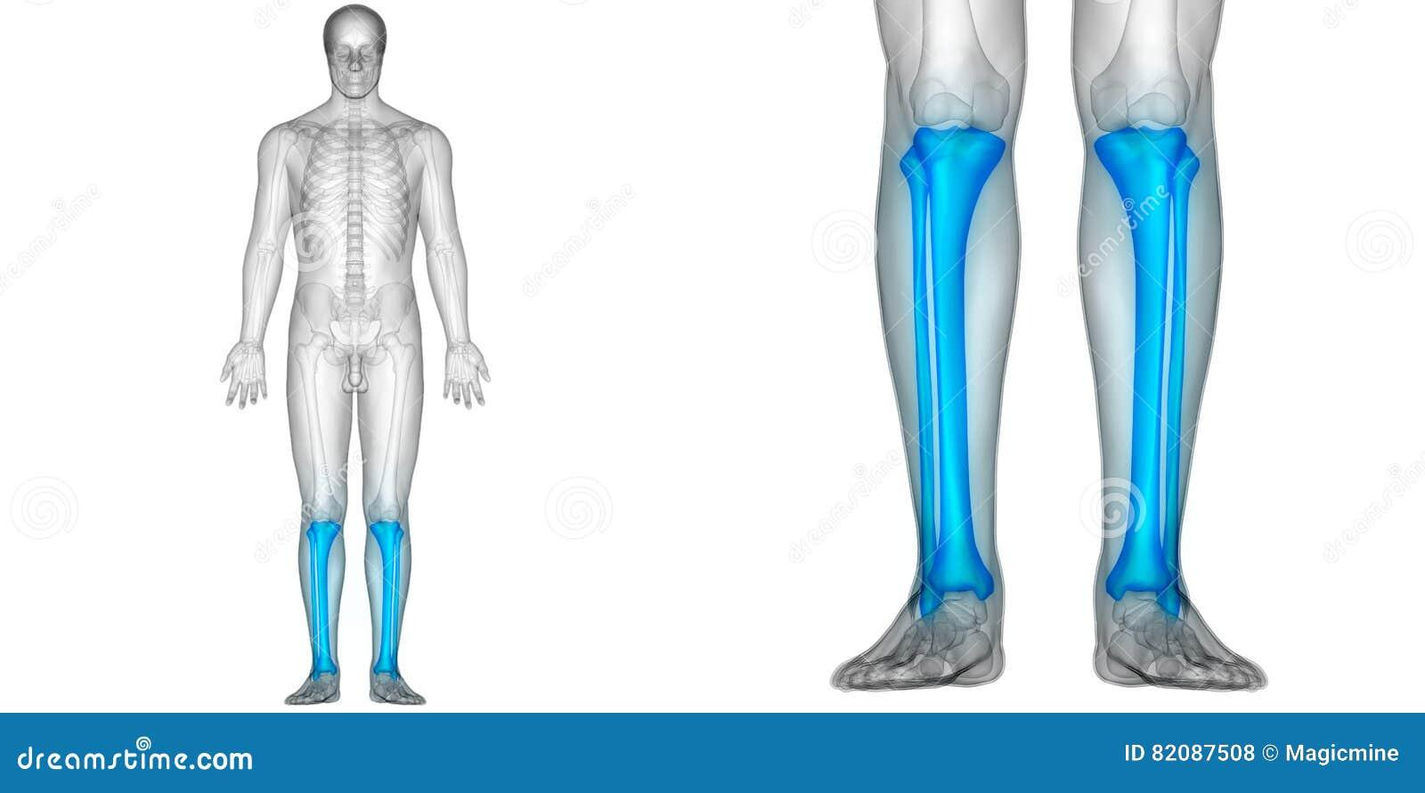 Os De Péroné Et De Tibia D\'anatomie De Douleurs Articulaires D\'os De ...