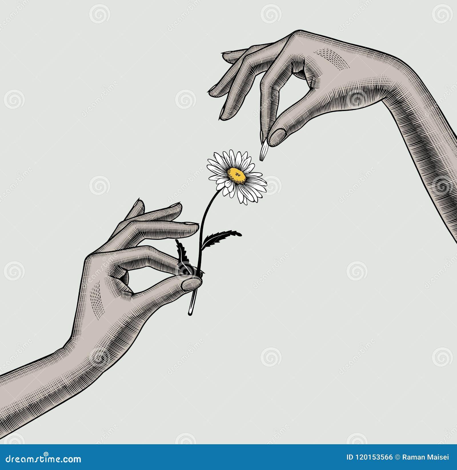 Os Dedos Das Maos Da Mulher Rasgam Fora As Petalas Da Flor Da