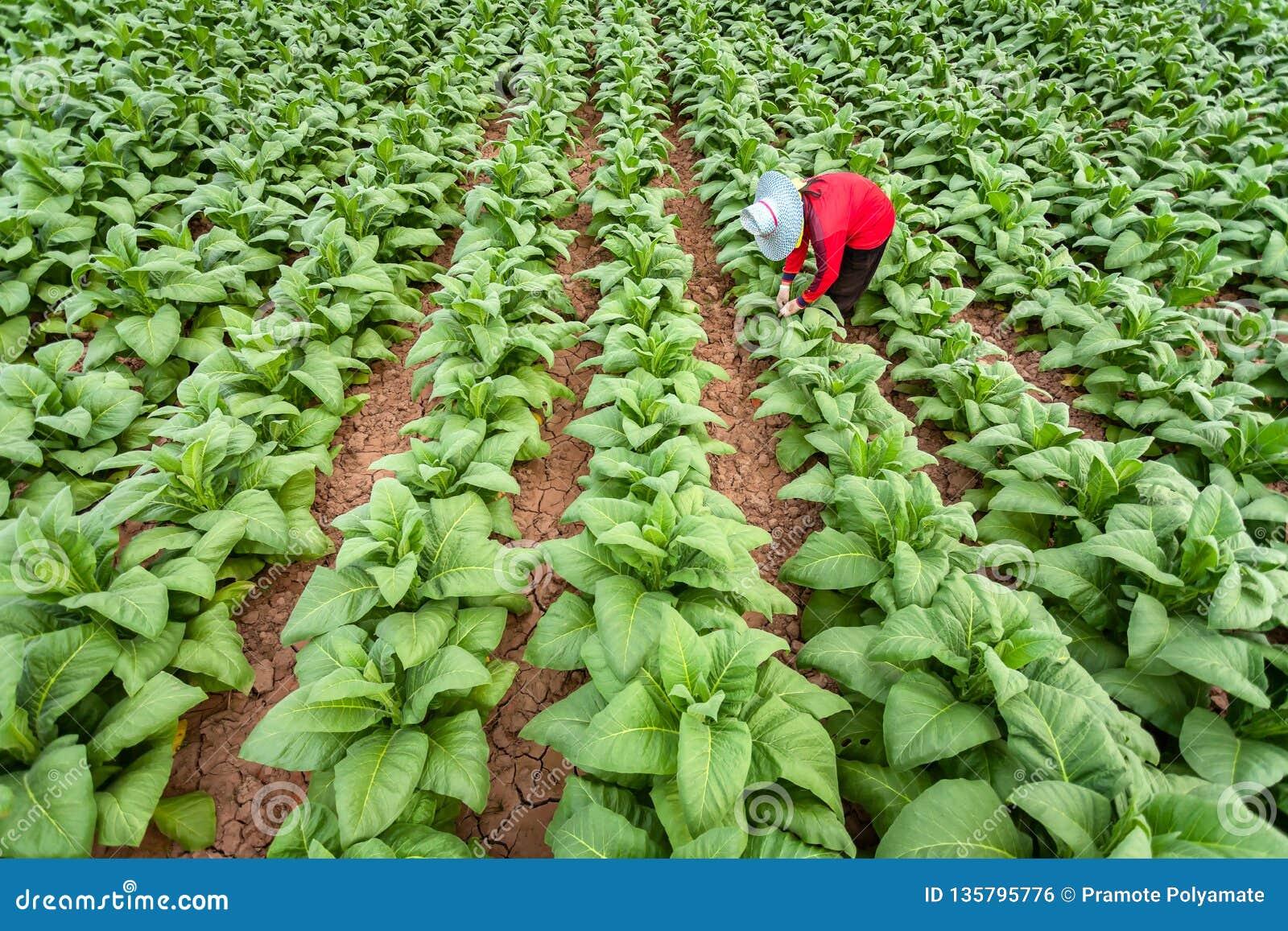 Os fazendeiros asiáticos cresciam o cigarro em um cigarro convertido que cresce no país, Tailândia