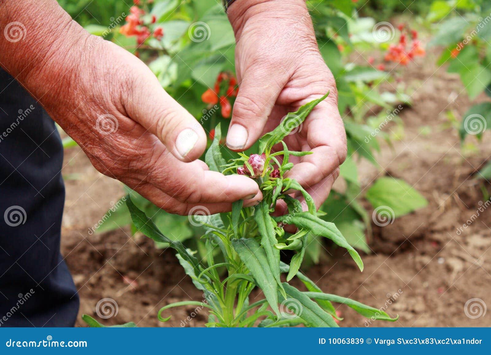 Os fazendeiros idosos cedem suas flores da palha