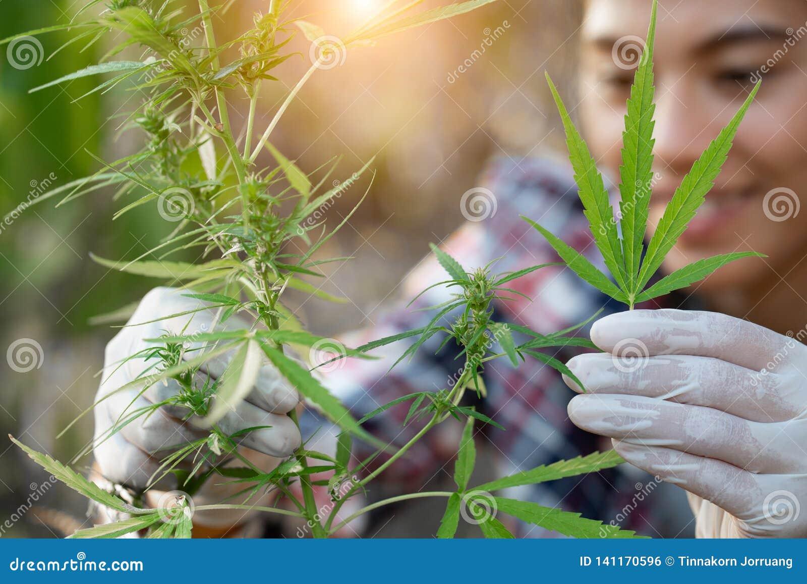 Os fazendeiros novos vestem luvas para verificar árvores da marijuana Conceito da medicina alternativa erval