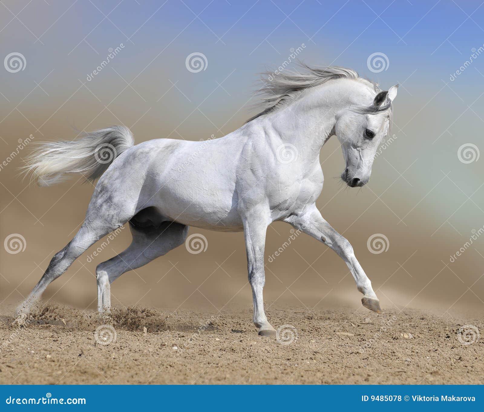 Os funcionamentos do garanhão do cavalo branco galopam no deserto da poeira