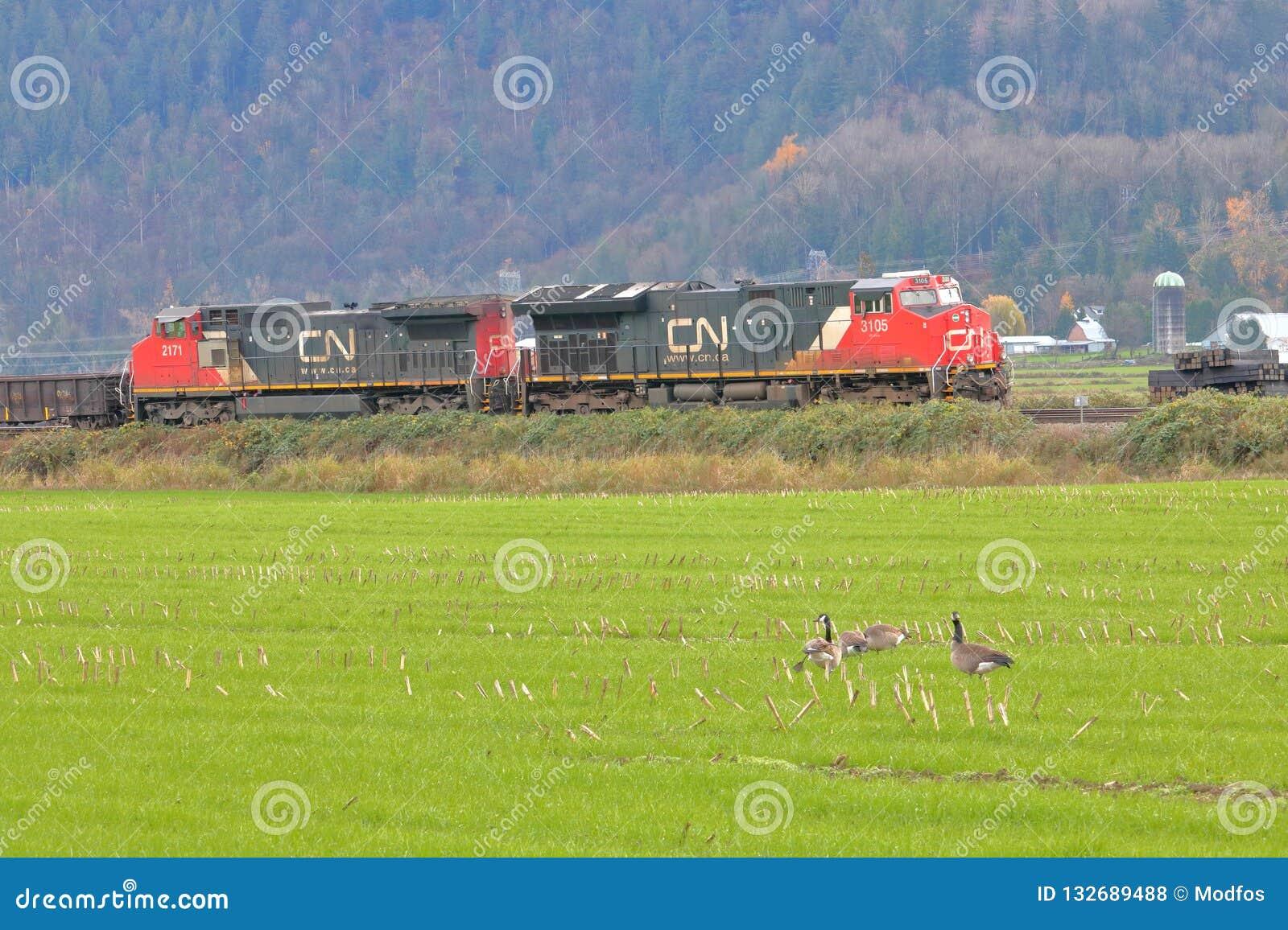 Os gansos de Canadá olham a passagem do trem da NC